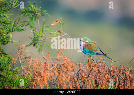 Lilac breasted roller isolated in natural background in Kruger National park, South Africa ; Specie Coracias caudatus family of Coraciidae - Stock Photo