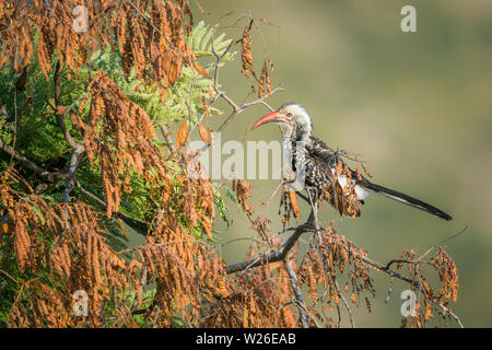 Southern Red billed Hornbill isolated in natural background in Kruger National park, South Africa ; Specie Tockus rufirostris family of Bucerotidae - Stock Photo