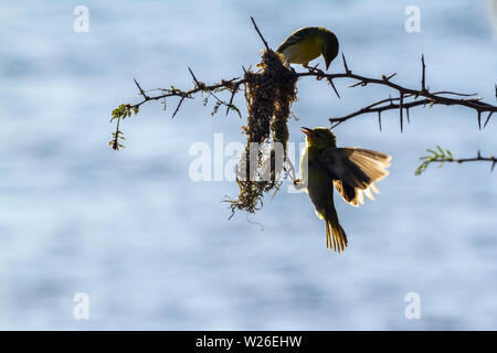 Spectacled Weaver building nest in Kruger National park, South Africa ; Specie Ploceus ocularis family of Ploceidae - Stock Photo
