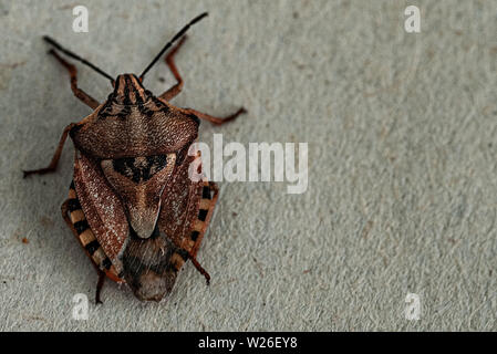 Insects are small.Brown marmorated stink bug Halyomorpha halys. On plain background with copyspace,on gray background close up.Insects are small - Stock Photo