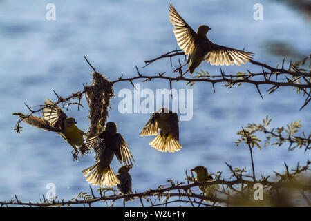 Small group of Spectacled Weaver building nest in Kruger National park, South Africa ; Specie Ploceus ocularis family of Ploceidae - Stock Photo