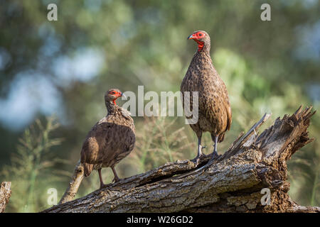 Couple of Swainson's Spurfowl perched on log in Kruger National park, South Africa ; Specie Pternistis swainsonii family of Phasianidae - Stock Photo