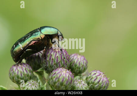 A pretty Rose Chafer or the Green rose Chafer Beetle, Cetonia aurata, perching on thistle flowers. - Stock Photo