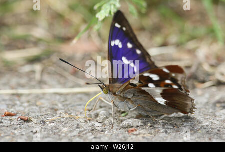 A rare Purple Emperor Butterfly, Apatura iris, feeding on minerals on the ground. - Stock Photo