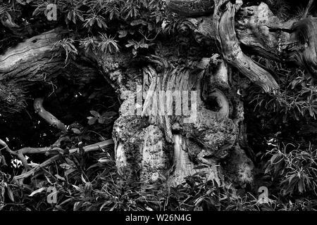 Old sweet Chestnut tree, Norfolk, U.K - Stock Photo