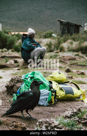 White-necked raven in Shira 1 Camp on the way to the top of Mount Kilimanjaro in Tanzania - Stock Photo