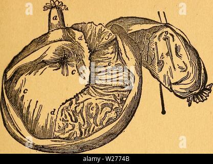 Archive image from page 44 of Das pferdebuch des amerikanischen farmers. Das pferdebuch des amerikanischen farmers  daspferdebuchdes00hoff Year: 1917  2>er ötpztixm be§ Kerbel. 39    Mb. 5—3sx Hagen. a S)er d)Iunb (gnHet), tüel(f)er äum SJQaen fülri b S)er 9[JJagenmunb. (inmünbung be§ (SdIunbe§ in ben 5Wa- gen). Sie in ber gorm mannigfotfier giingabfnitte fidE) um ben SOagcnctngang lagernben Slugfeln finb fe)r bic unb ftar, xmb üermöge ber 3ufanimenäie{)ung imftanbe, ben SOagen fo bollfommen m f(i)Itefeen, ha ha Burücftreten ober erbretfien be§ Bereite genoffenen gutterS foft unmöglich) ift - Stock Photo