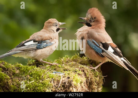 Jay bird parent with young chick wanting food, close up on a moss covered log in a woodland scene. - Stock Photo