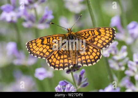 Heath fritillary (Melitaea athalia) is a butterfly of the family Nymphalidae. Here sucking nectar on a  lavender in June, Uppland, Sweden - Stock Photo