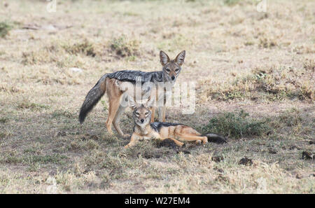 A pair of black-backed jackals (Canis mesomelas) in the East African savannah. - Stock Photo