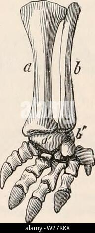 Archive image from page 289 of The cyclopædia of anatomy and - Stock Photo