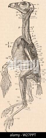 Archive image from page 305 of The cyclopædia of anatomy and - Stock Photo