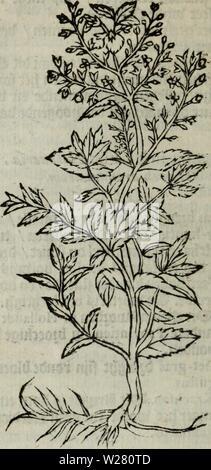 Archive image from page 335 of De Nederlandtse herbarius, of, Kruydt-boeck. De Nederlandtse herbarius, of, Kruydt-boeck : beschryvende de geslachten, gedaente, plaetse, tijt, oeffeningh, aert, krachten, en medicinael gebruyck van alderhande boomen, heesteren, boom-gewassen, kruyden en planten, die in de Nederlanden in 't wilde gevonden, ende in de hoven onderhouden worden : als mede de uytlandtsen of vreemde droogens, die gemeenlijck in de apothekers winckels gebruyckt worden : uyt verscheyde kruydt-beschrijvers tot nut van alle natuur-kunders, geneesmeesters, apothekers, chirurgijns, en liefh - Stock Photo