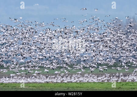 Mount Vernon, Washington, USA.  Flock of migratory Snow Geese in flight above dormant winter fields. - Stock Photo