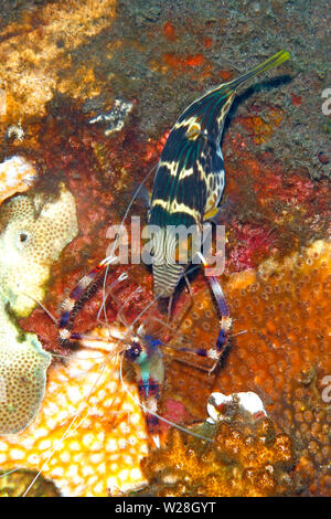 Valentine's Sharpnosed Puffer, also known as a Blacksaddle Toby, Canthigaster valentini, being cleaned by Banded Coral Shrimp, Stenopus hispidus.