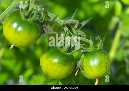 Small, unripe green tomatoes growing on the vine. - Stock Photo