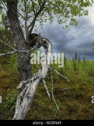 Gnarled willow and dark clouds in Brannberget Naturreservat in Northern Sweden. - Stock Photo