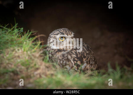 peering above the grass looking for predators to the right, this burrowing owl with large yellow eyes emerges from a hole in the ground - Stock Photo