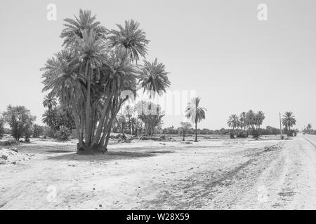 landscape of cluster of date trees in a village punjab,pakistan.date trees near a road side,pakistan.black and white. - Stock Photo