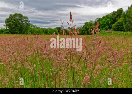 SPEYSIDE WAY SCOTLAND WILD GRASSES PINK FLOWERS OF YORKSHIRE FOG GRASS  Holcus lanatus - Stock Photo