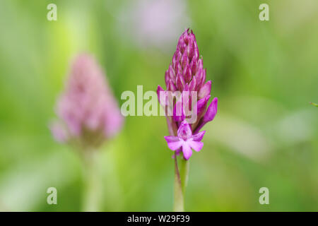 Pyramidal orchid (Anacamptis pyramidalis) flowering on Newtimber Hill in West Sussex (UK) - Stock Photo