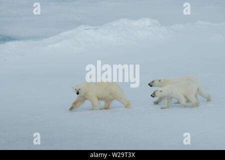 Russia, High Arctic, Franz Josef Land. Polar bear (WILD: Ursus maritimus) female with two cubs. - Stock Photo