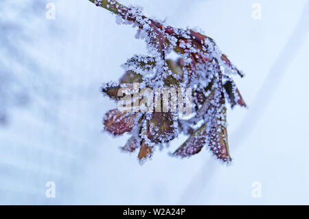 The branch of a rose with leaves covered with white snow in a winter sunny day - Stock Photo