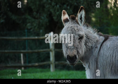 A portrait of a midget donkey grazing in its field looking straight at the camera. - Stock Photo