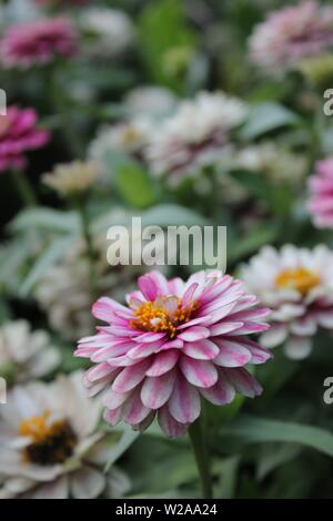 Beautiful elegant and dignified pink and white striped dahlia flower in full bloom. - Stock Photo