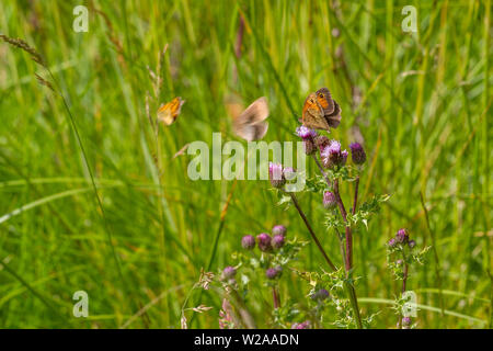 UK wildlife: Multiple butterflies (skipper and meadow browns) on thistle flowers in the countryside. - Stock Photo