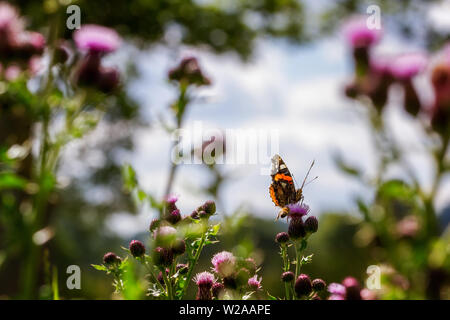 UK wildlife: Red admiral butterfly, Vanessa atalanta, in an unusual pose with its front leg extended as if to ward off the bee flying towards it. - Stock Photo