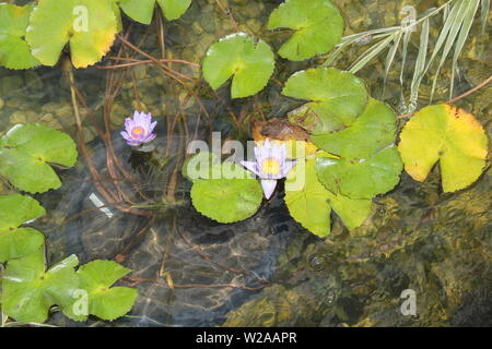 Beautiful purple summer lily flowers and pads floating in the water. - Stock Photo