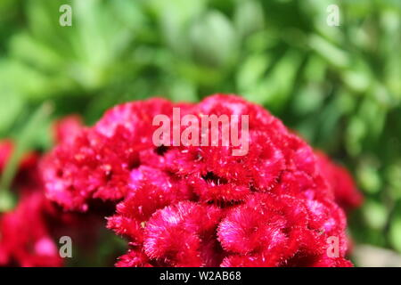 Beautiful red fuzzy crested cockscomb, Celosia argentea var. cristata, growing in a garden in the bright summer sun. - Stock Photo