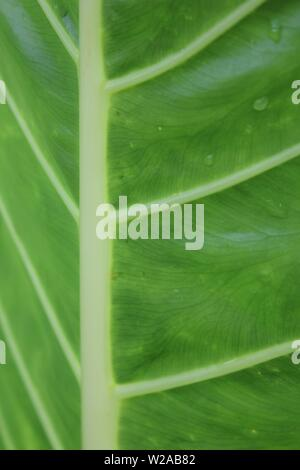 Yellow Stem Giant Taro, Alocasia macrorrhiza, Giant Taro, Giant Elephant Ear, Upright Elephant Ear, Pai, - Stock Photo