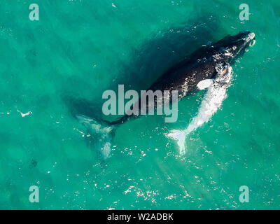 southern right whale, Eubalaena australis, aerial view of mother and calf in the shallow protected waters of the Nuevo Gulf, Valdes Peninsula, Argenti - Stock Photo