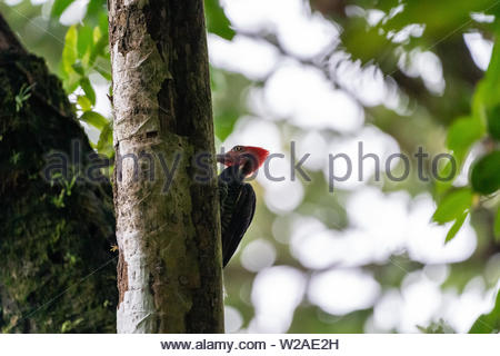 Pale-billed Woodpecker (Campephilus guatemalensis) in Costa Rica - Stock Photo