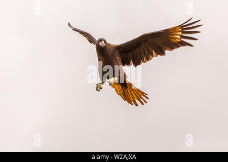 striated caracara on west point island falklands islands in flight, wings and tail outstretched and claws ready to strike - Stock Photo
