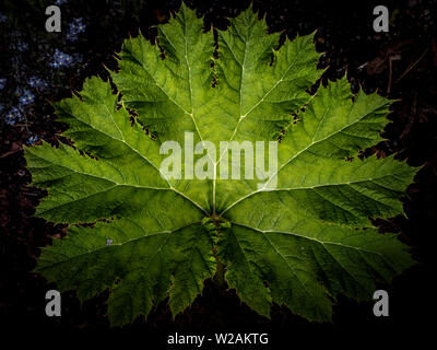 The leaf of Gunnera tinctoria outside in a garden, close-up Stock Photo