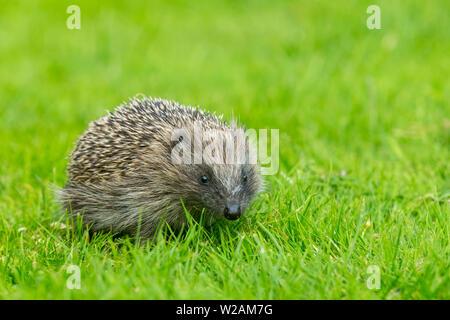 Hedgehog, (Scientific name: Erinaceus Europaeus) Young hoglet, a wild, native, European hedgehog in natural garden habitat on green lawn. Landscape. - Stock Photo
