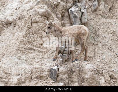 The young bighorn sheep (Ovis canadensis) jumping at the cliff of Badlands National Park, South Dakota, USA - Stock Photo