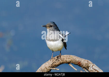 The oriental magpie-robin - Stock Photo