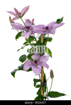 Climbing lilac / pink blooming Clematis Hagley Hybrid flowers on branch with leafs. Isolated on white background. - Stock Photo