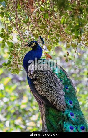 Peacock in the wild profile - Stock Photo