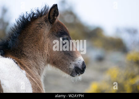 wild pinto horse foal in spain - Stock Photo