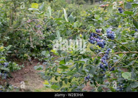 Northern highbush cultivated blueberries and leaves branch in the sunny garden. Dusky blue wax coating on the berries. - Stock Photo