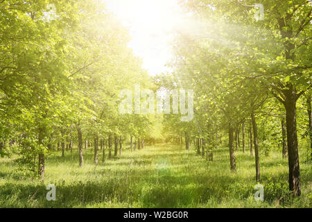 Alley in an elm grove in the sunlight. Green forest in early summer. Natural summer landscape - Stock Photo