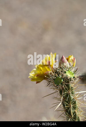 Yellow blooming flower of cholla plant in desert