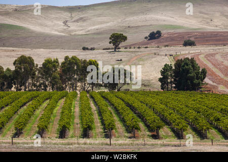 Australia, South Australia, Clare Valley, Auburn, vineyard - Stock Photo