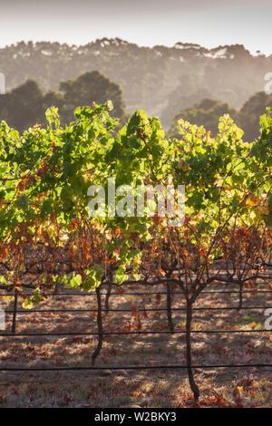 Australia, Western Australia, The Southwest, Margaret River Wine Region, Margaret River, vineyard - Stock Photo