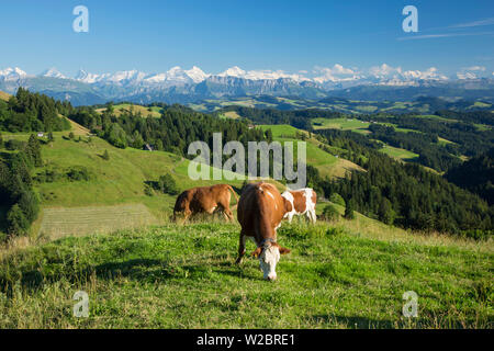 Grazing cows, Emmental Valley and Swiss alps in the background, Berner Oberland, Switzerland - Stock Photo